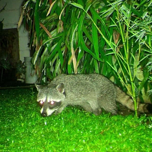 Costa Rica: presencia de Salmonella en mapaches de áreas urbanas